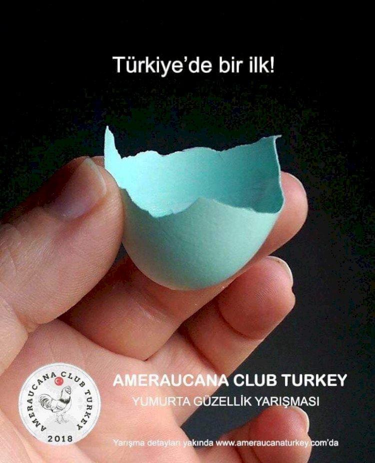 Ameraucana club mavi yumurta yarışması